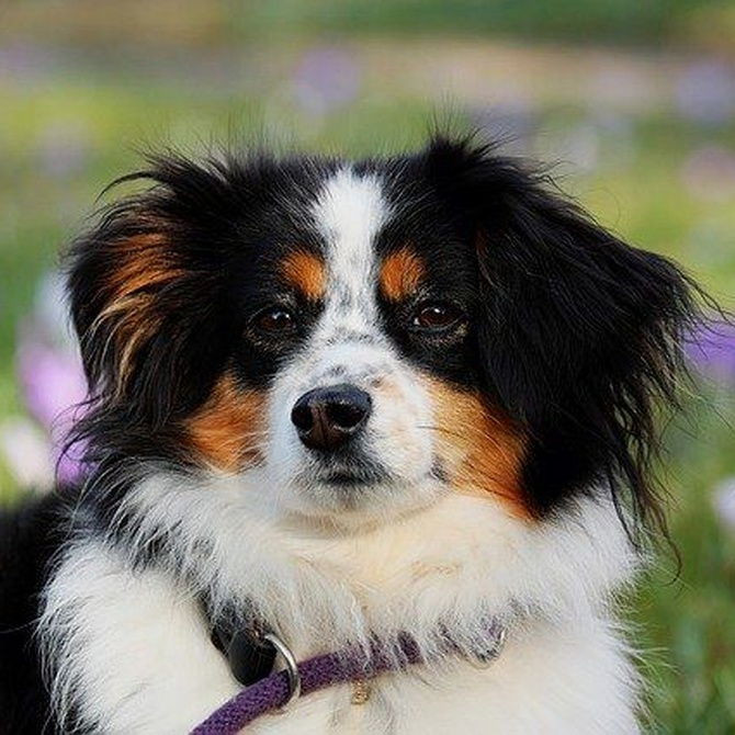 ¿Cómo mantener sano el pelaje de un perro con pelo largo?