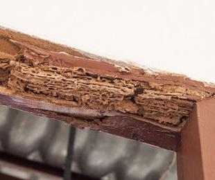 Las plagas de termita y carcoma en Bizkaia superan a las de cucarachas