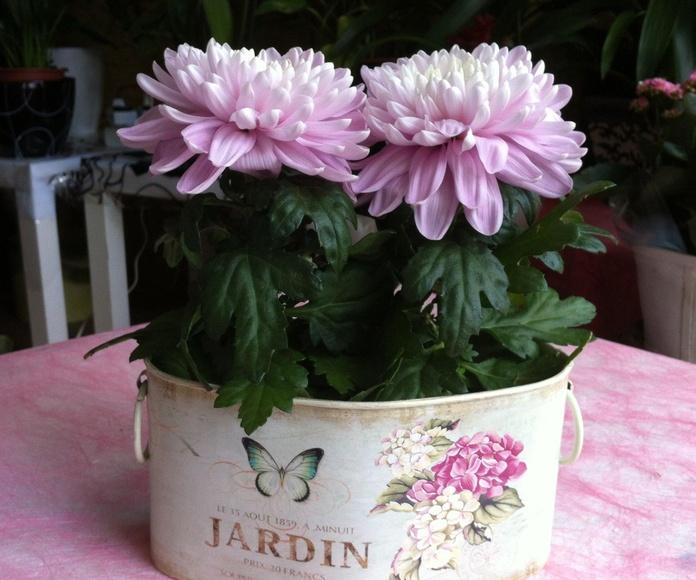 Dalias: Catálogo de Flores Maranta