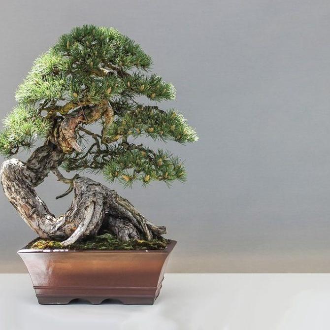 ¿Cuántos años vive un bonsái?