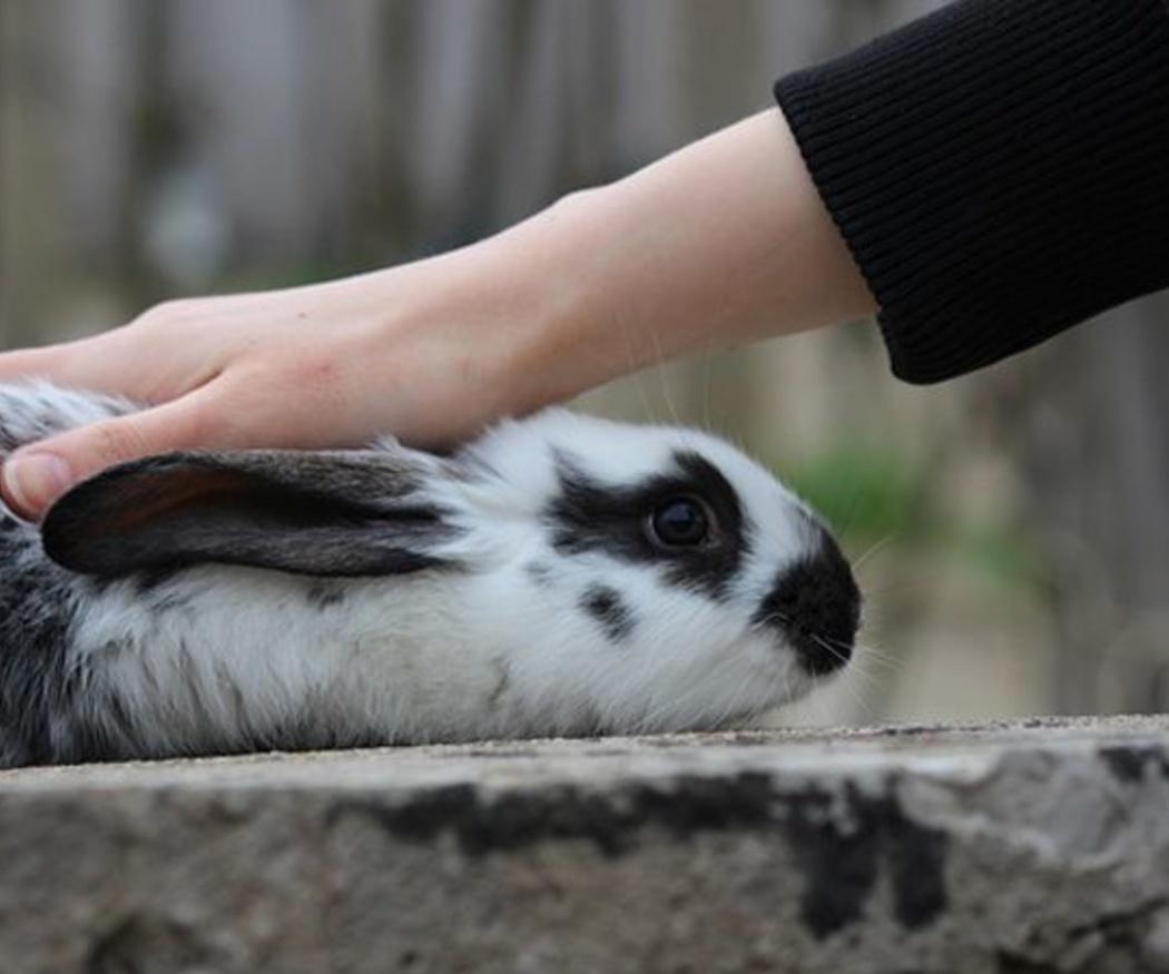 La vacunación en los conejos
