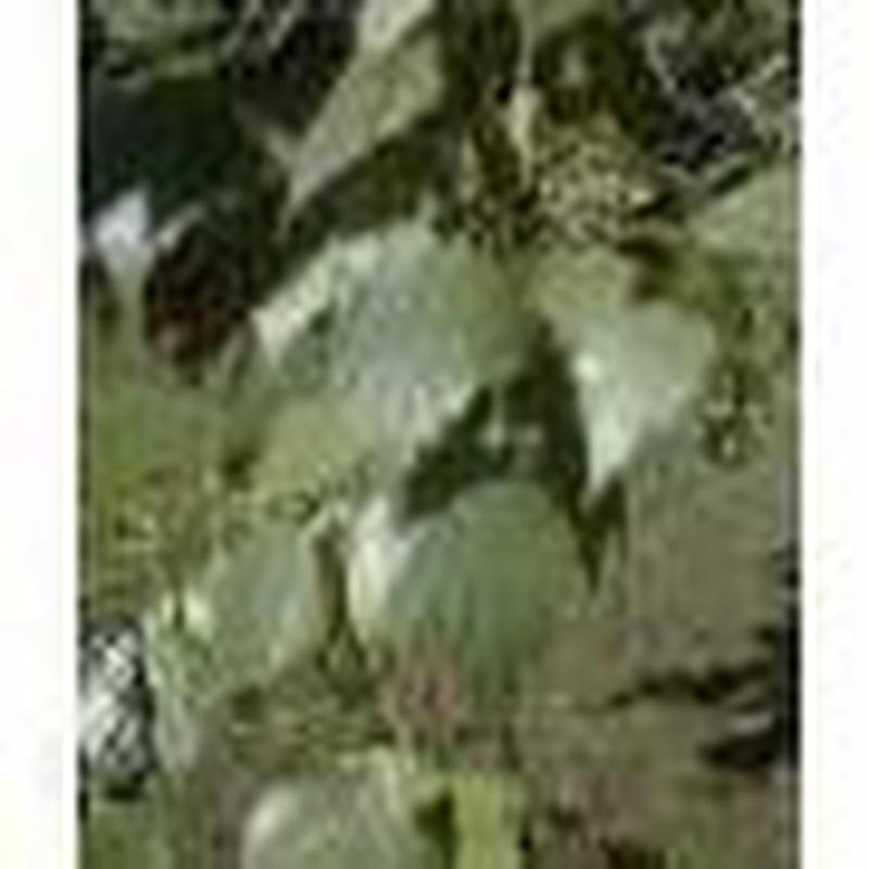 Abedul en cepellon  de 30 / 40 cm  de altura.