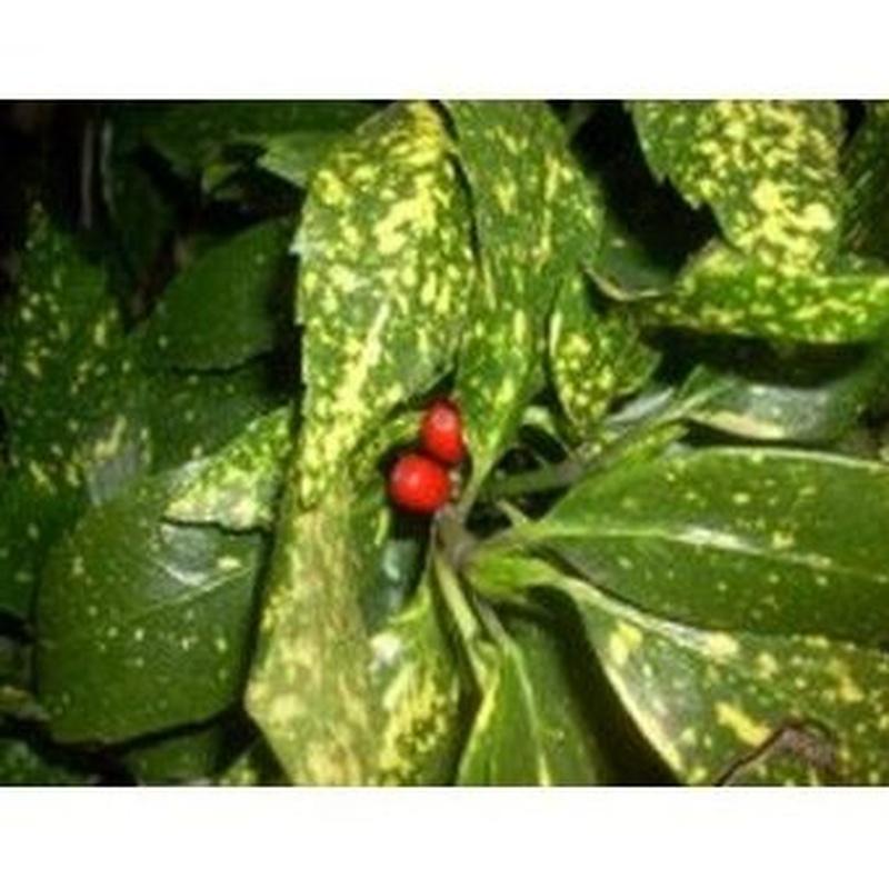 Aucuba Japónica: Productos de Danimayos Crea Tu Jardin