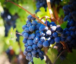La uva para el vino perfecto