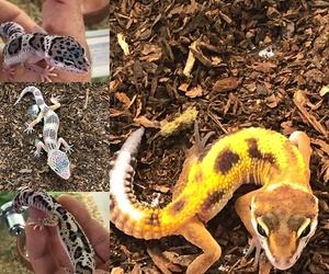 El gecko, una mascota perteneciente al mundo de los lagartos. Si quieres saber cómo cuidarla te lo explicamos. Reptil Park