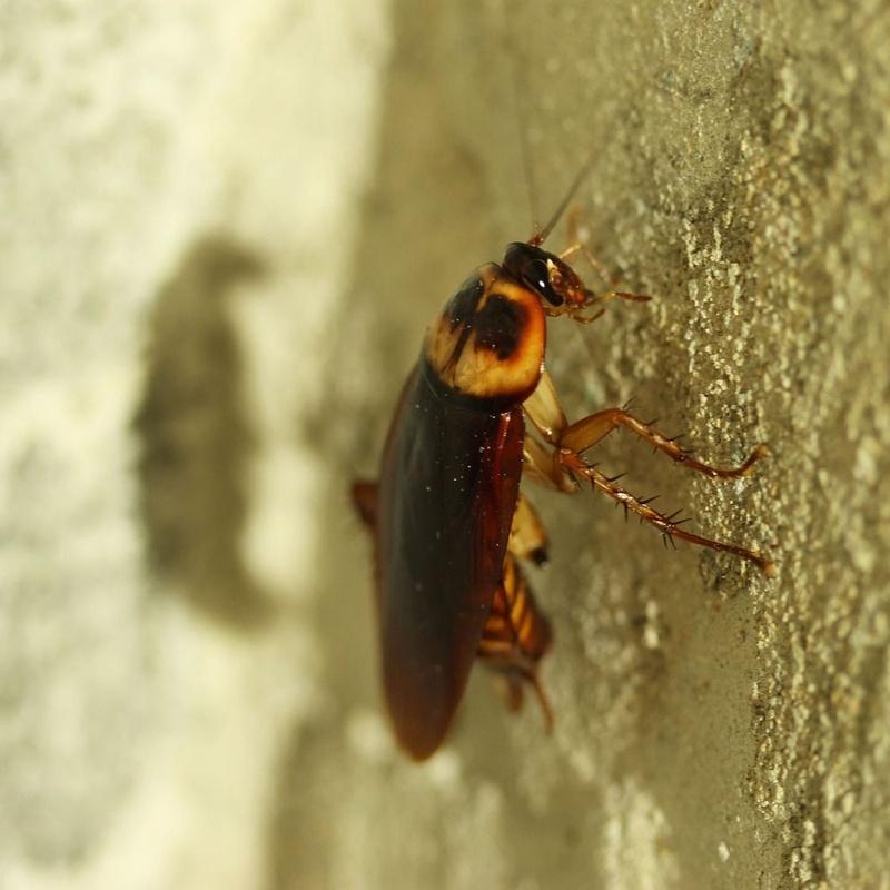 Eliminación de cucarachas: Servicios de Castesol