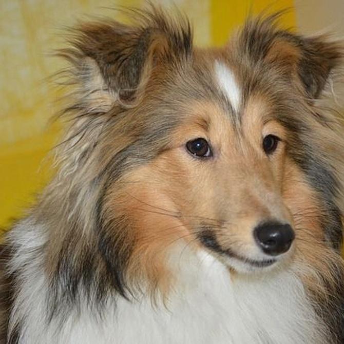 Tipos de champú para perros
