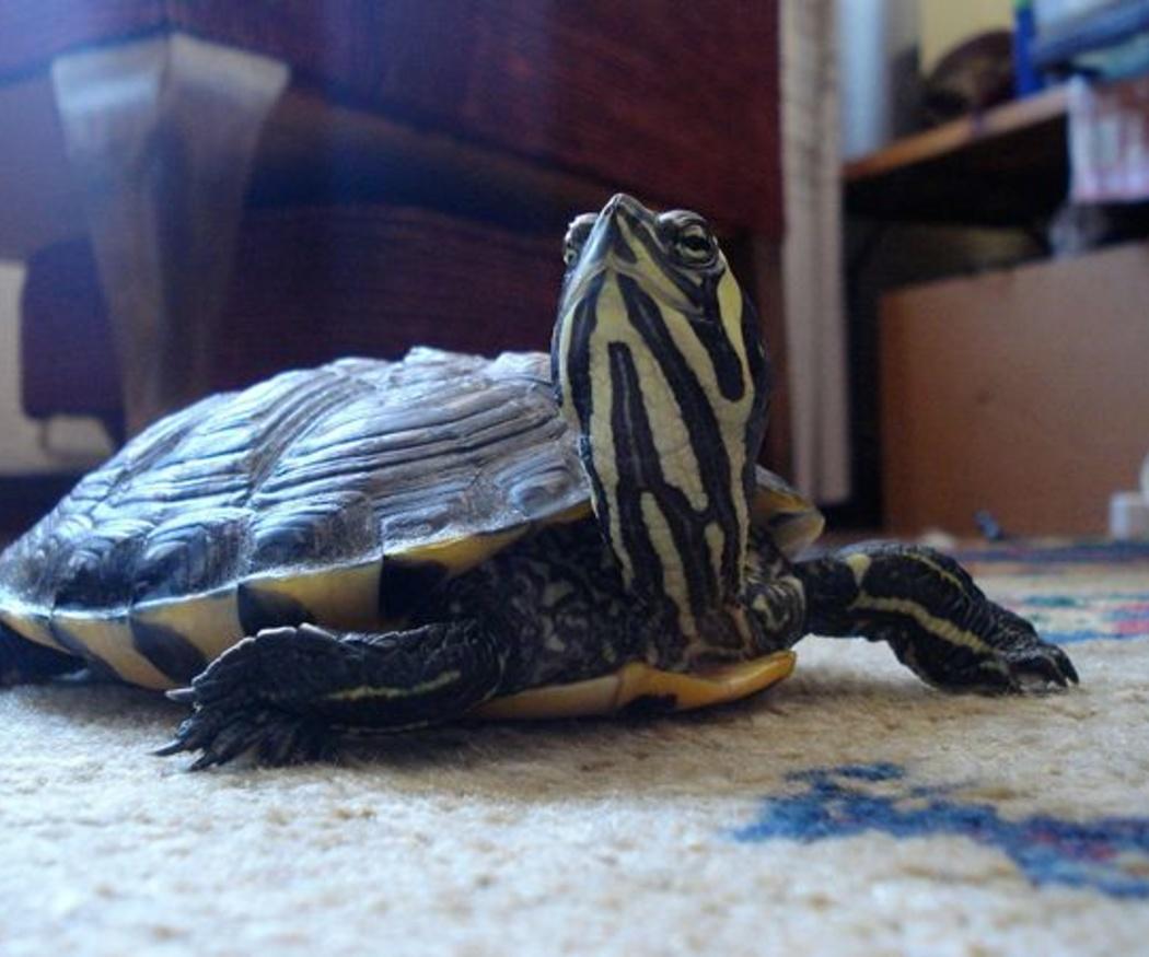 Consejos para el cuidado de tortugas en el hogar