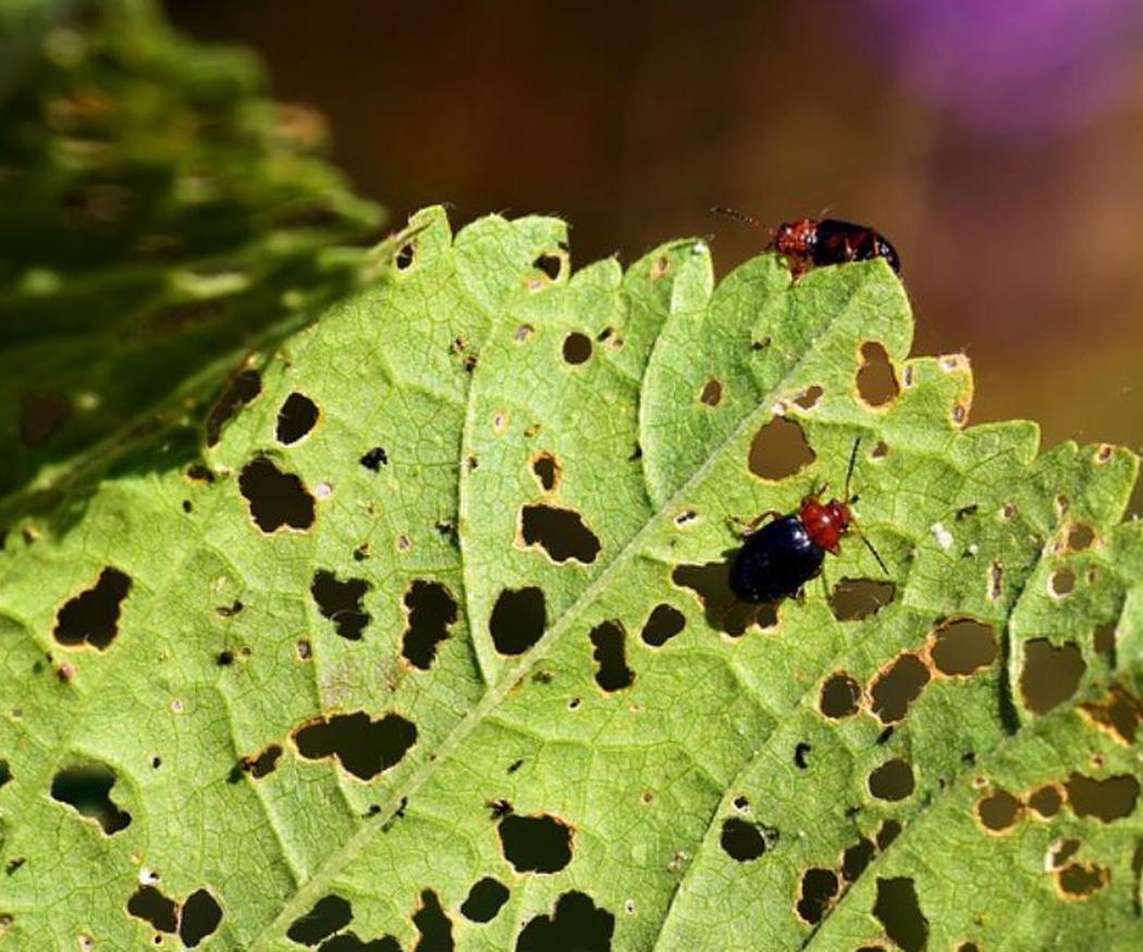 Algunas de las plagas de insectos más frecuentes en los jardines