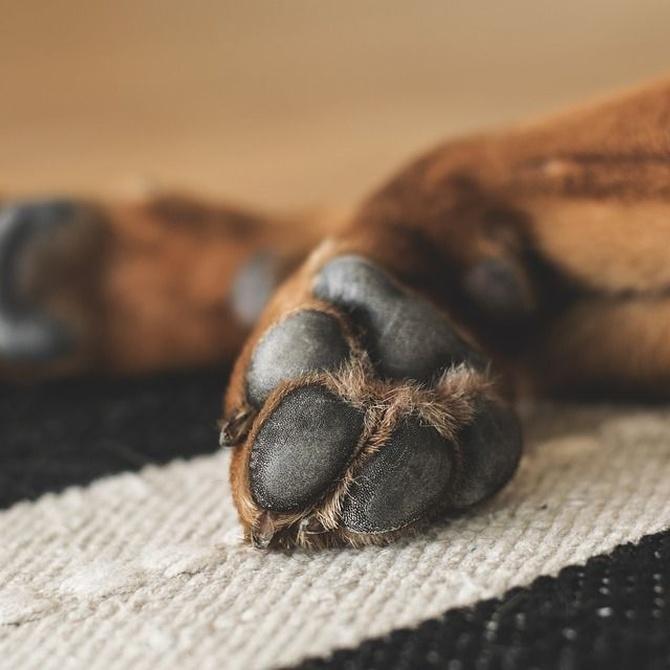 Cómo cuidar las almohadillas plantares de tu perro