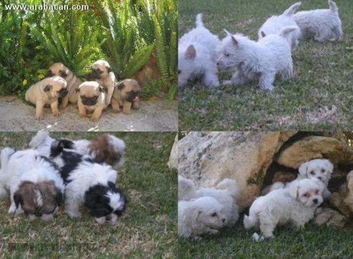 Venta de cachorros de todas las razas: Servicios de Arabacan
