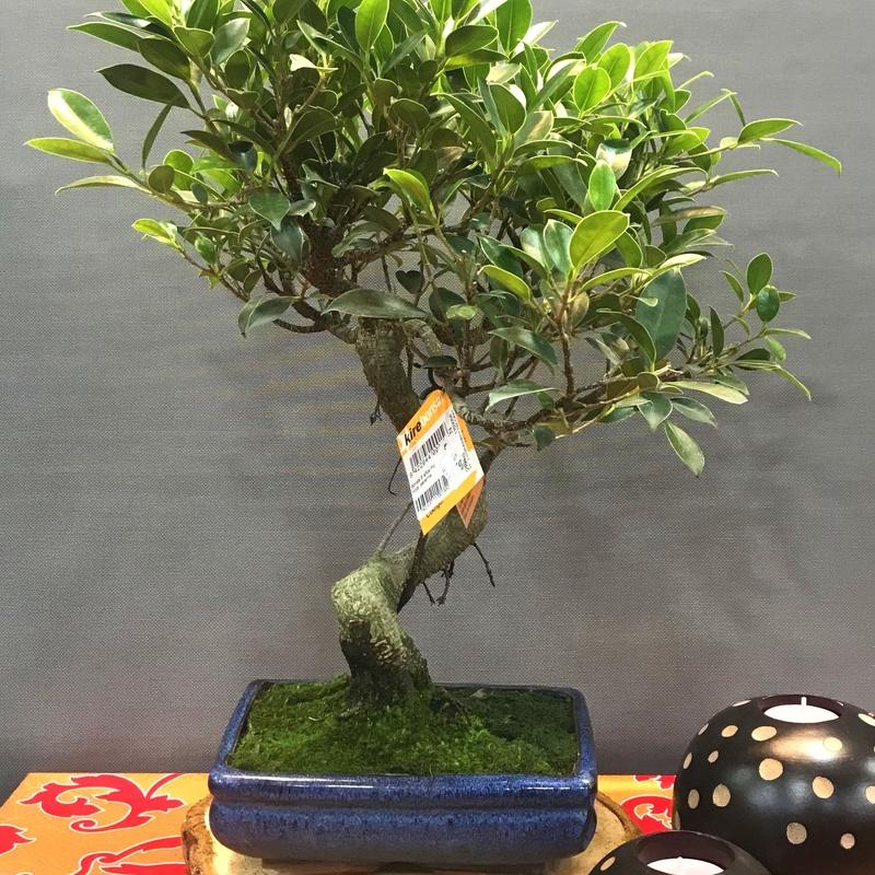 bonsai ficus 8 años