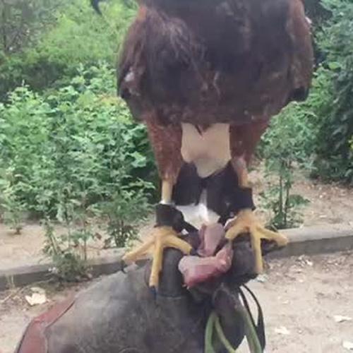 Dando la merienda a nuestro amigo, el águila Harris