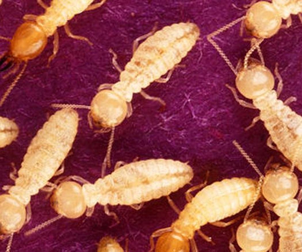 Tipos y variedades de termitas que atacan en España