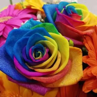 Posiblemente unas de las rosas mas hermosas del mundo: rosas raimbow by Flores Dalia desde Mallorca