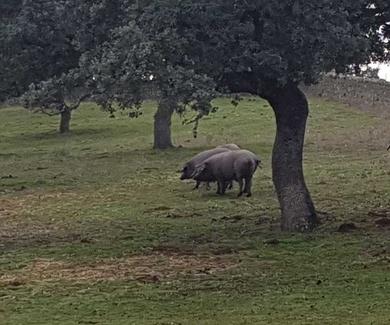 Cerdos de bellota en Montanera