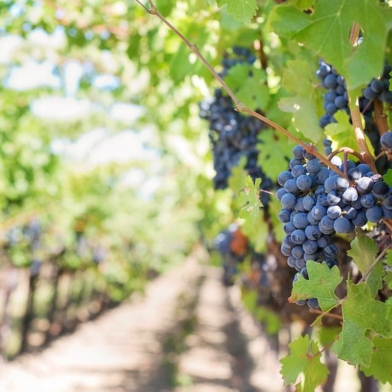 Viveros de viñas: Servicios de Viveros Enrique Bravo, S.L.
