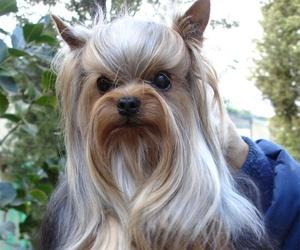 Yorkshire de pelo largo campeón y con pedigrí en Paracuellos del Jarama