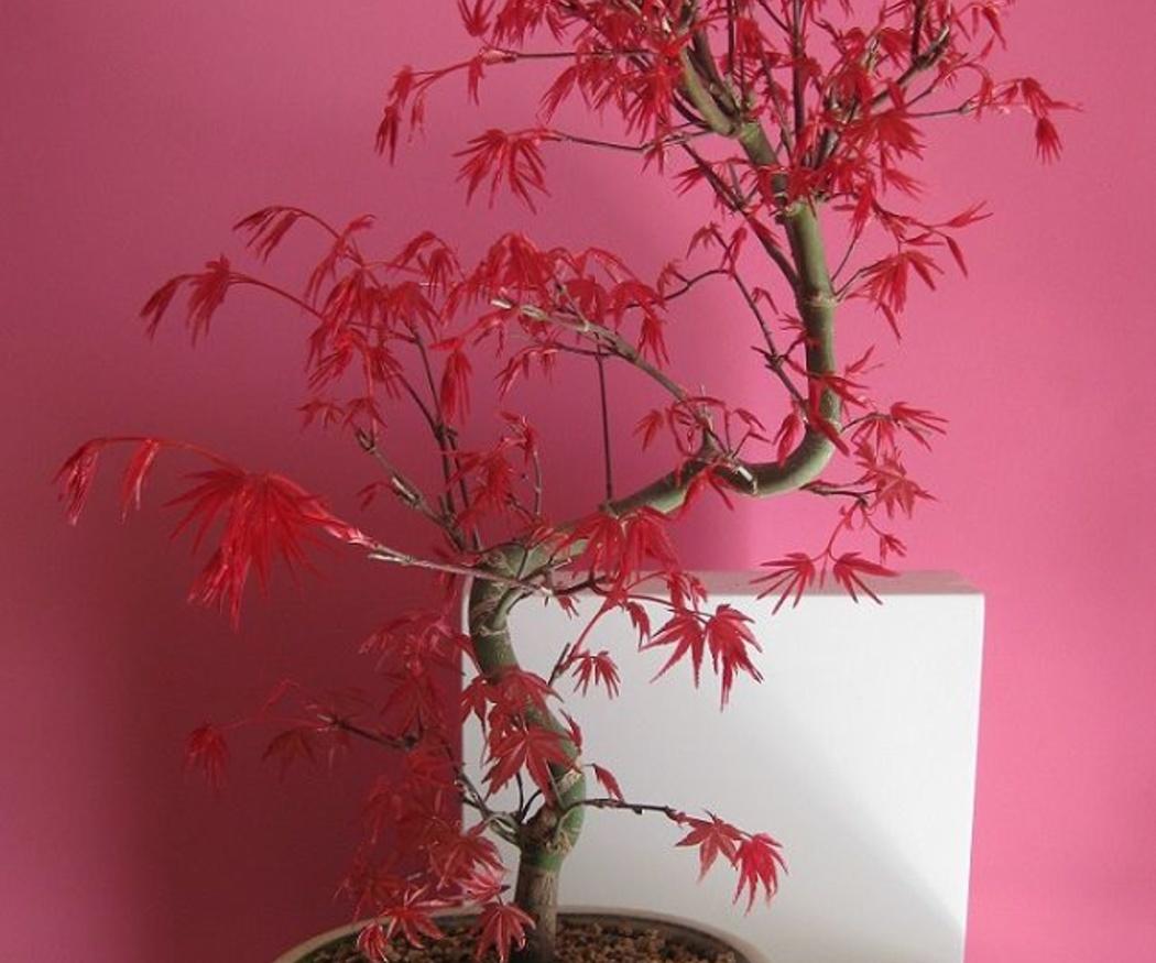 Características del bonsái de arce japonés