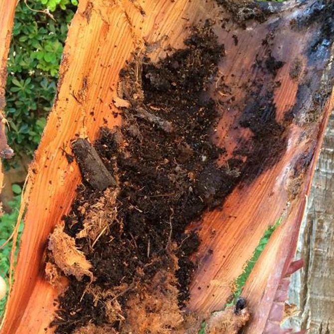 Las plagas más comunes en las palmeras