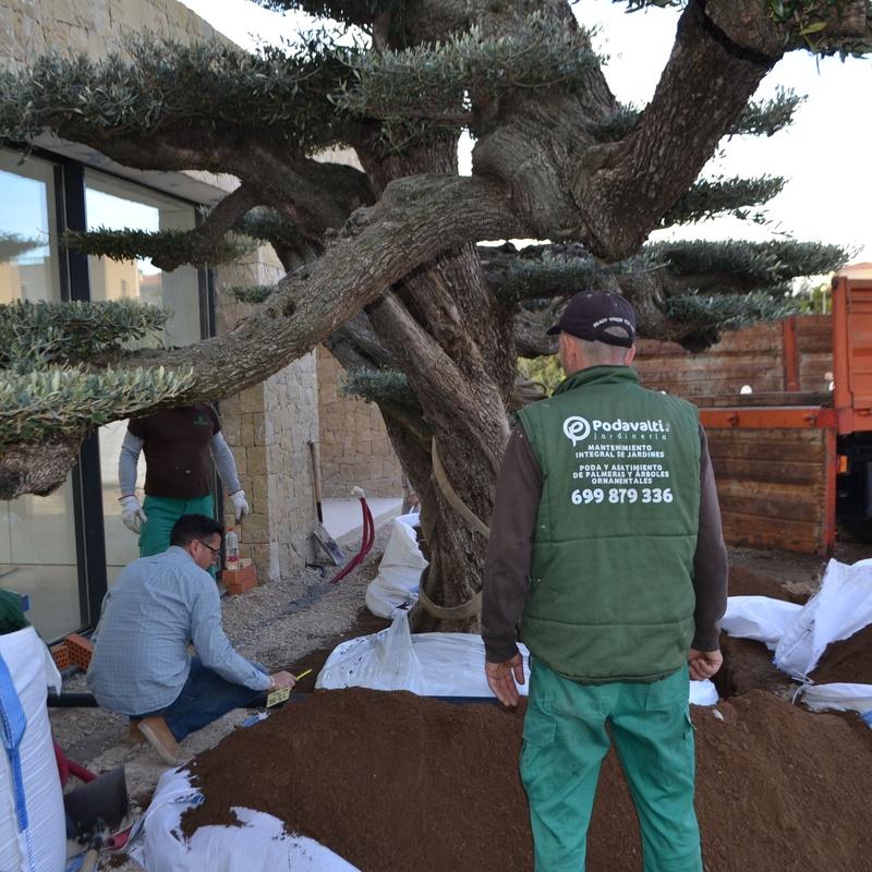 Transplante olivo centenario: servicios de Podavalti
