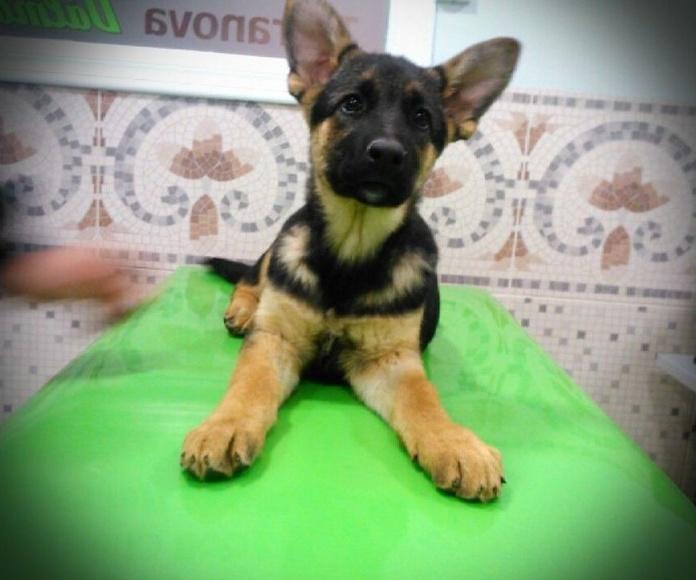 Este es Rex, aún estamos con sus primeras vacunas de cachorro!!