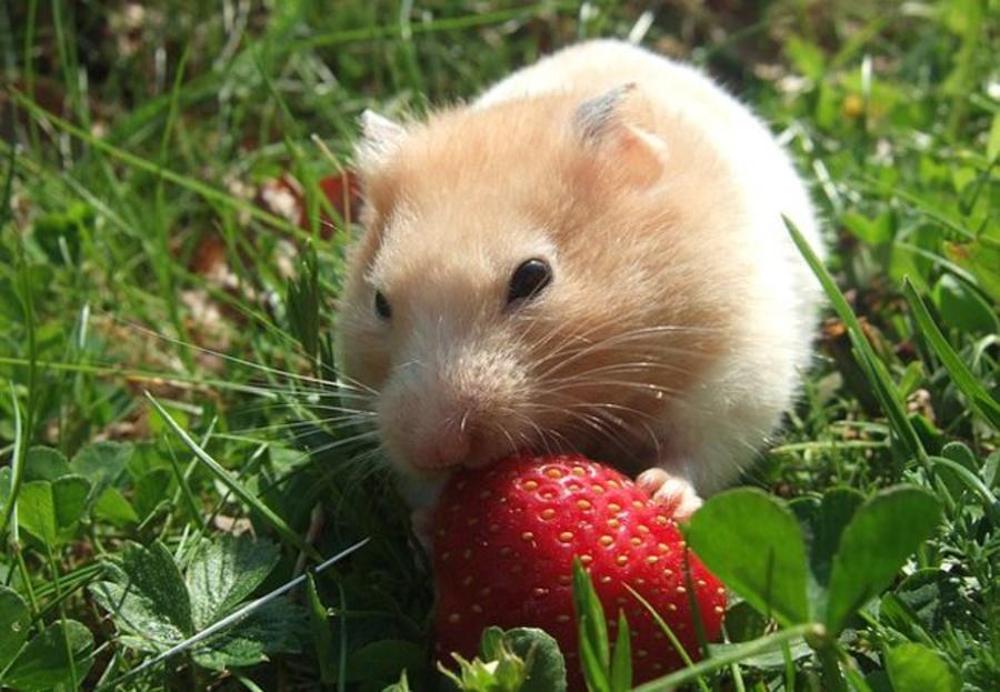 ¿Qué comen los roedores domésticos?