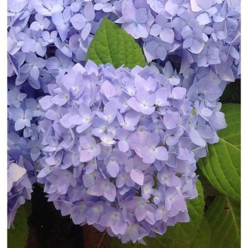 Hortensias: Catálogo de Flores Maranta