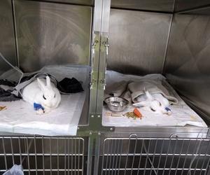 Cirugías de conejos en TOT EXOTICS