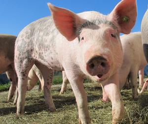 Transporte de cerdos vivos en Girona