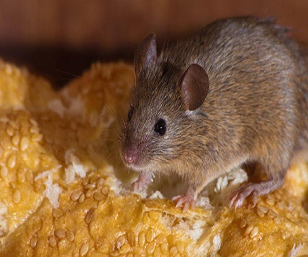 Enfermedades derivadas de la presencia de ratas