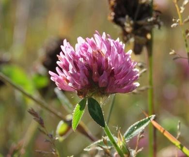 Trébol Rojo (Trifolium Pratense). Beneficios e información.
