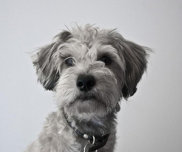 Venta de cachorros: Servicios de Sir Can, Estilismo Canino