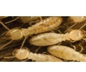 Soluciones para la eliminación de termitas en Zamora