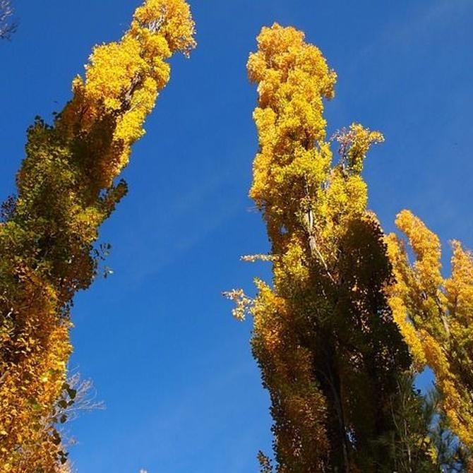 ¿En qué se diferencia un chopo respecto a los otros tipos de árboles?