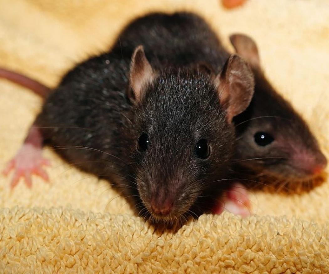Los grandes peligros de las ratas en casa