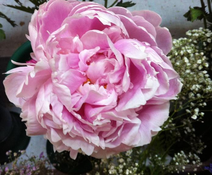 Peonía rosa