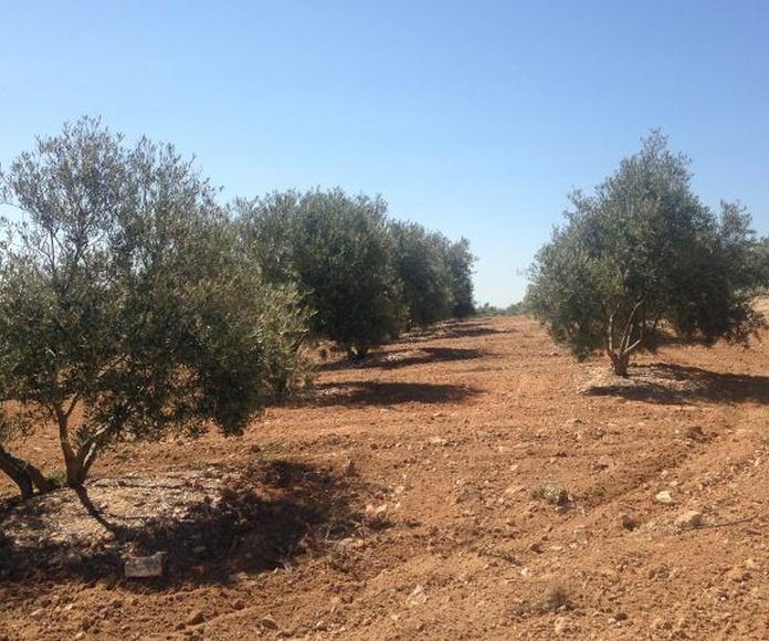 Venta de olivar joven 256 olivos: Inmuebles Urbanos de ANTONIO ARAGONÉS DÍAZ PAVÓN