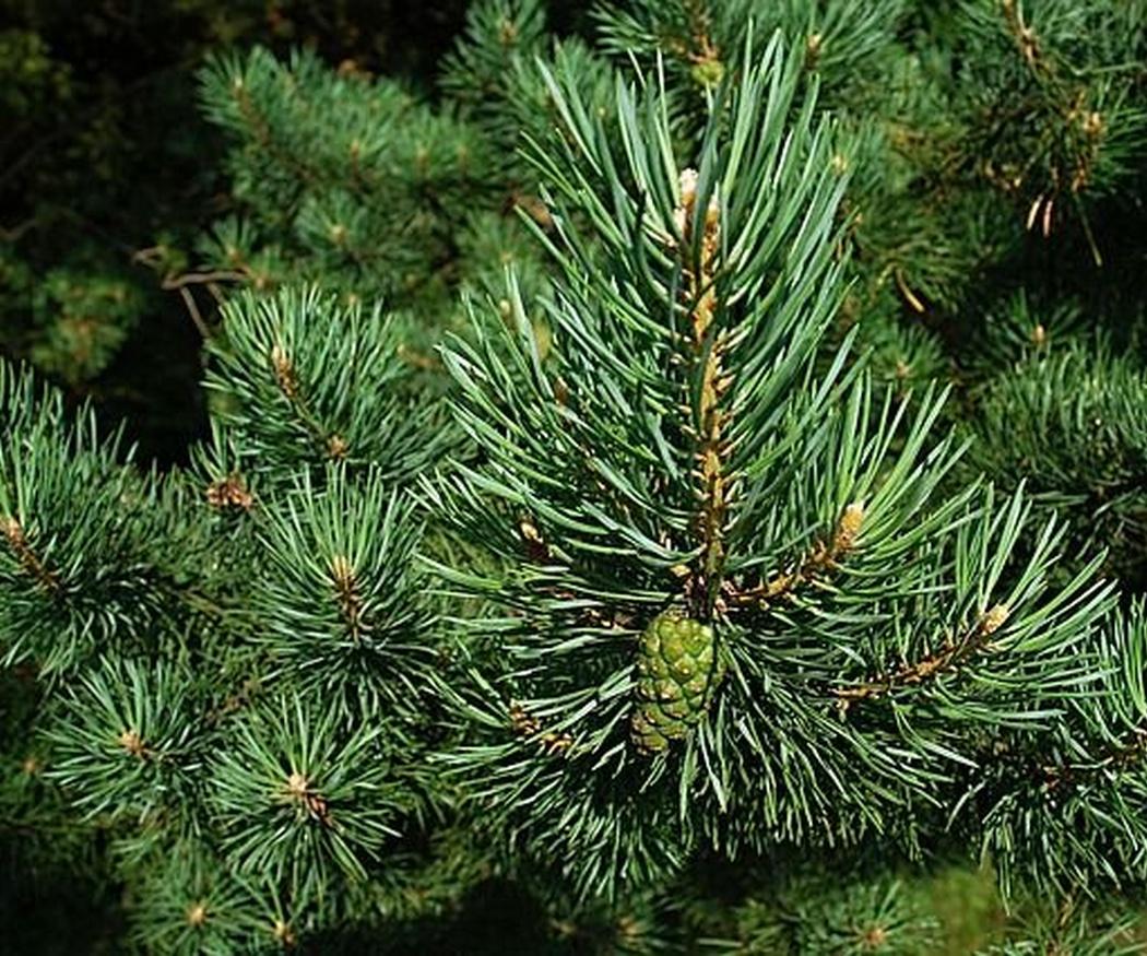 La procesionaria del pino: qué es y cómo combatirla