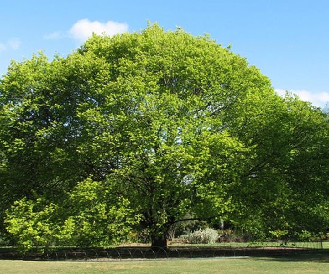 El fresno y el olmo, los árboles con mejor sombra para tu jardín