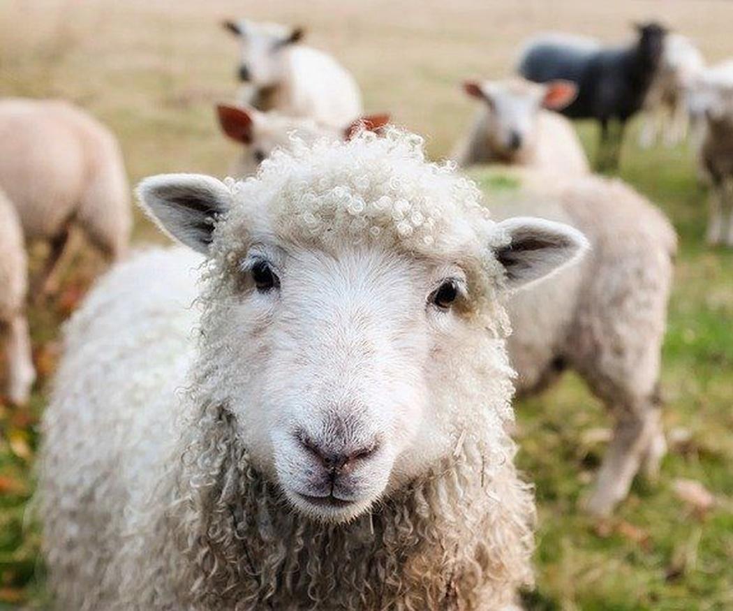 ¿Cuáles son las diferencias entre la oveja churra y la merina?