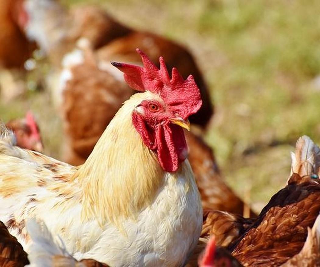 Beneficios nutricionales del pollo asado