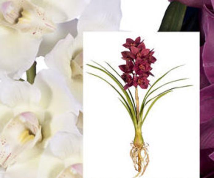 Orquídea Cymbidium Látex con Hoja
