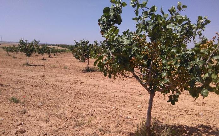 Venta de finca de pistachos: Inmuebles de ANTONIO ARAGONÉS DÍAZ PAVÓN