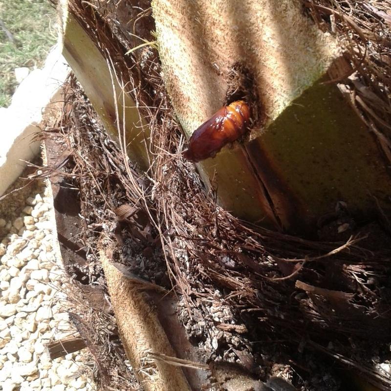 Picudo rojo (plaga en las palmeras)