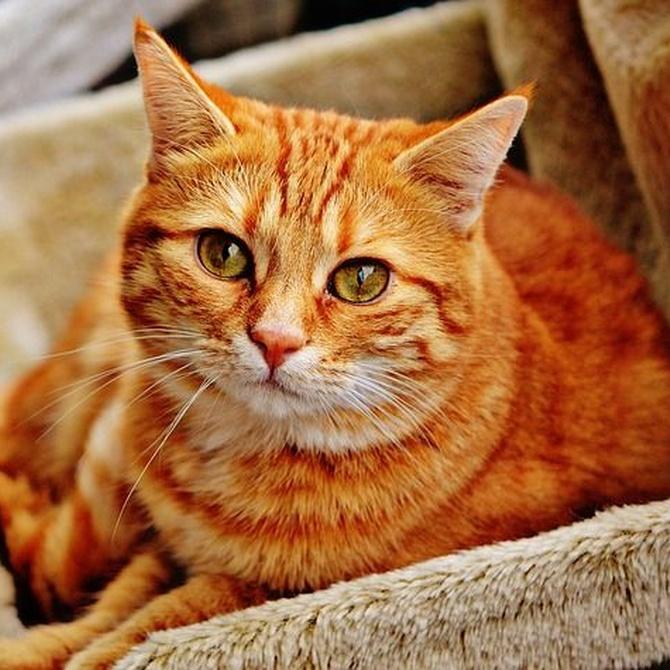 Observa a tu gato: cinco enfermedades comunes