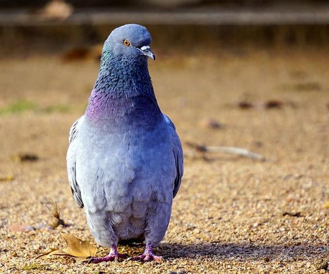 ¿Has oído hablar de la mensajería por paloma?