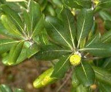 Pitosporum del japón Ref. 9 ( Arbusto )