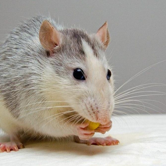¿Cómo trasmiten sus enfermedades las ratas?