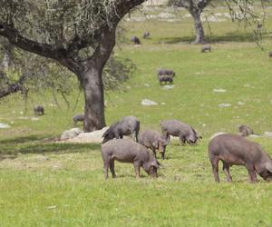 Carnes de cerdo ibérico de Salamanca